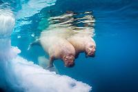 Atlantic walrus, Odobenus rosmarus rosmarus, swimming by iceberg, Lagoya, Svalbard, Norway, Atlantic Ocean