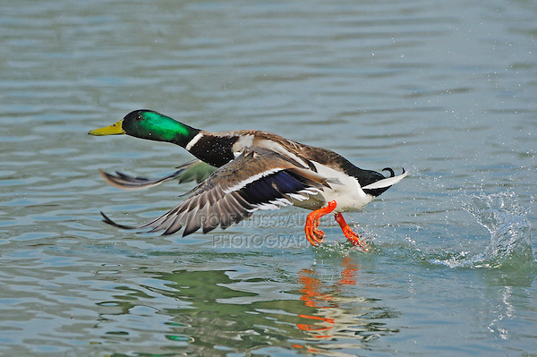 Mallard (Anas platyrhynchos), male in flight, Switzerland