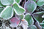 Ice crystals form on the leaves of a plant during a cold winter day.