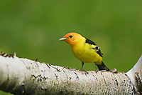 Western Tanager (Piranga ludoviciana), adult male, Rocky Mountain National Park, Colorado, USA