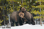 Grizzly bears courting on snow. Yellowstone National Park, Wyoming.