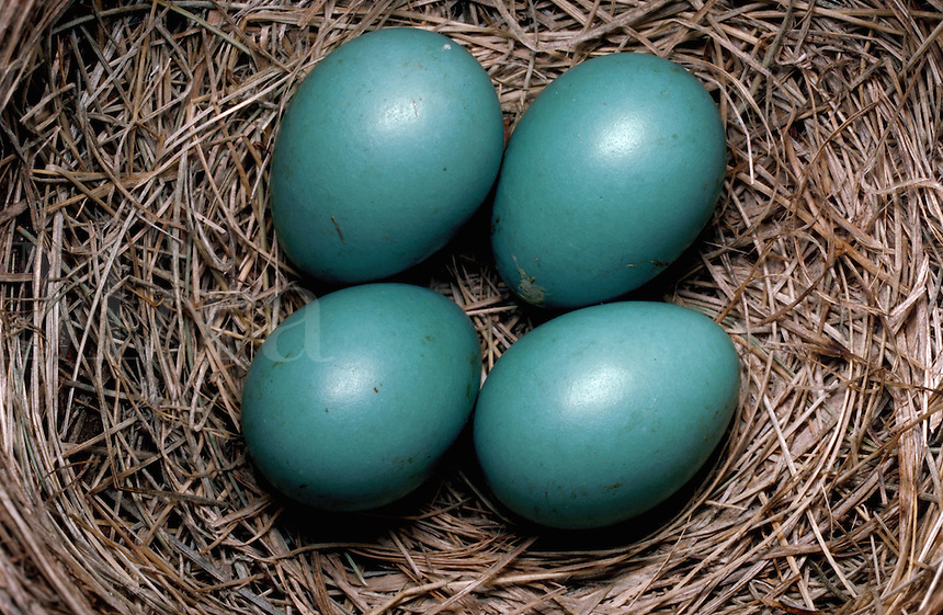 Blue eggs in the nest of American Robin, Jemez Mountains, New Mexico