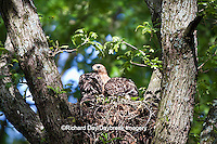 00794-00616 Red-shouldered Hawks (Buteo lineatus) adult and nestlings at nest, Marion Co., IL