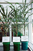 Kenya. Nairobi Province. Nairobi. Kenya Agricultural Research Institute (KARI). As part of a program to improve food security in Kenya, the Insect Resistant Maize for Africa (IRMA) project is testing BT Maize in a Bio Safety Level 2 Greenhouse complex at the National Agricultural Research Laboratory (NARL). The BT Maize is a genetically modified (GM) maize. Juvenile plants with a demonstration on the effects of stemborer infections on BT Maize and Non BT Maize.  © 2004 Didier Ruef
