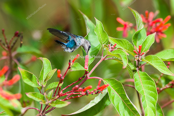 Bee Hummingbird (Mellisuga helenae), male in non-breeding plumage, in flight feeding on the red flowers of Firebush (Hamelia patens). Cuba