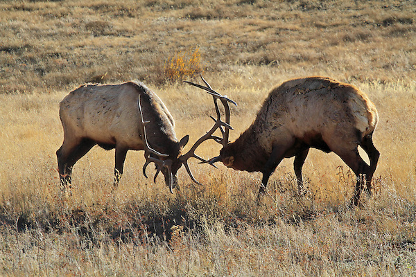 Bull elk or 'wapiti' during the autumn rut, Rocky Mountain National Park.  John leads private, wildlife photo tours throughout Colorado. Year-round.