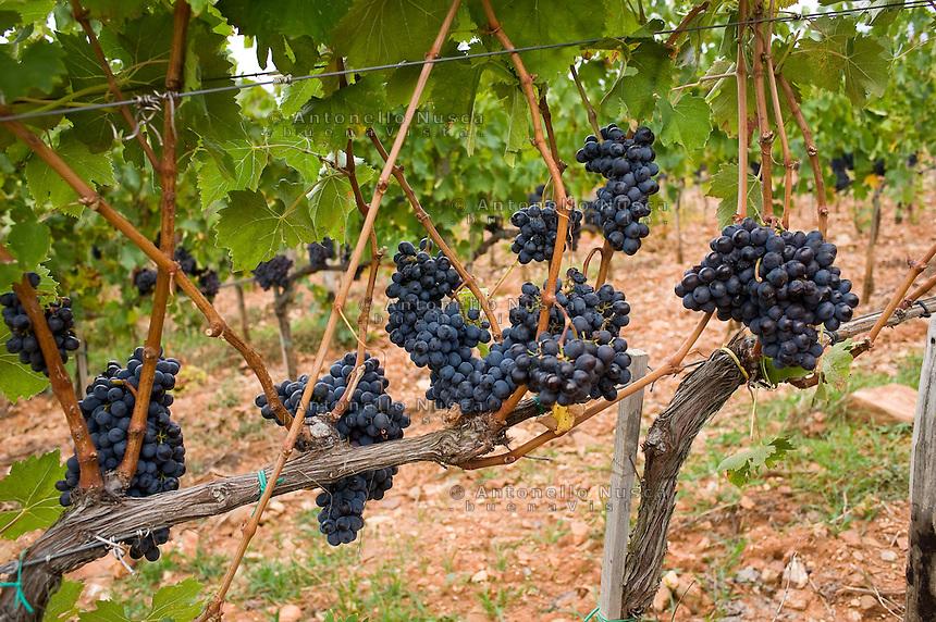 Black Grapes of Brunello in the Castello Romitorio vineyards..Grappoli di uva di Brunello nelle vigne della azienda agricola Castello Romitorio