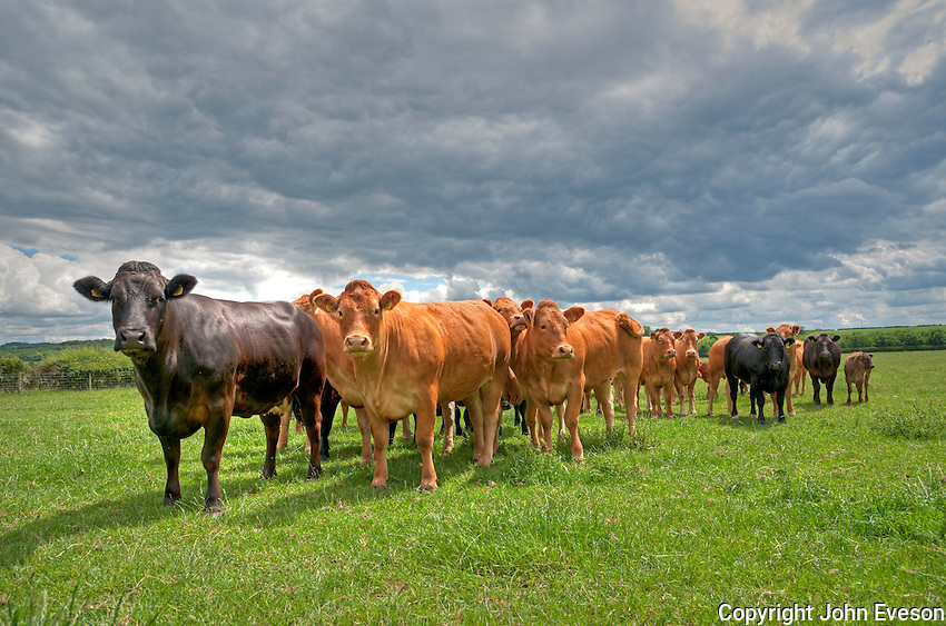 HDR image of Limousin and Limousin cross beef cattle in East Yorkshire.