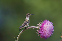 Black-chinned Hummingbird, Archilochus alexandri, female on texas thistle, Hill Country, Texas, USA