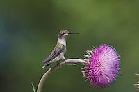 Black-chinned Hummingbird, Archilochus alexandri, female on texas thistle, Hill Country, Texas, USA
