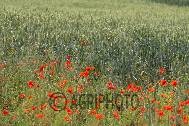 20.6.2020 Poppies growing in Wheat   <br /> ©Tim Scrivener Photographer 07850 303986<br />      ....Covering Agriculture In The UK.