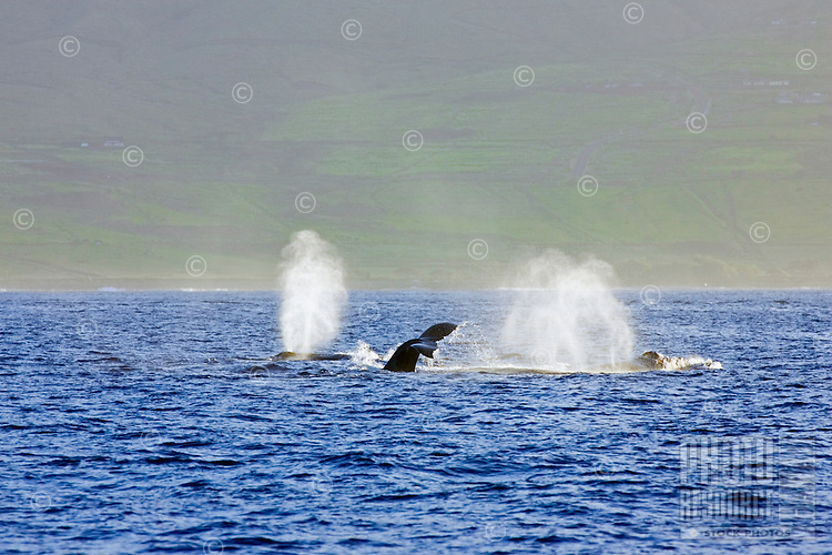 A competition pod of humpback whales near Olowalu, Maui.