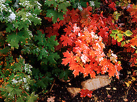 At autumn frost adorns a colorful grouping of oak leaves<br />