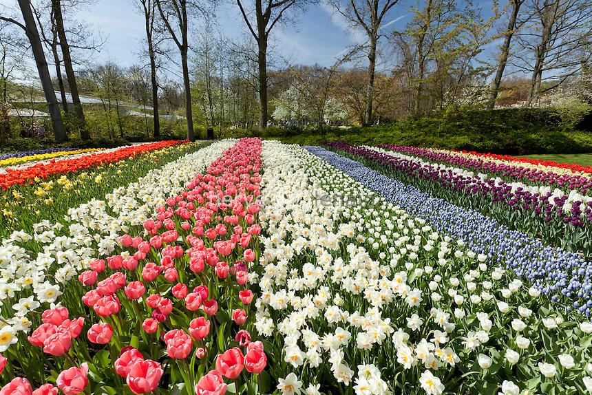 "Hollande, région des champs de fleurs, Lisse, Keukenhof, bandes de tulipes, narcisses et muscaris // Holland, ""Dune and Bulb Region"" in April, Lisse, Keukenhof, flower park in spring, strips of tulips, daffodils and grape hyacinths"