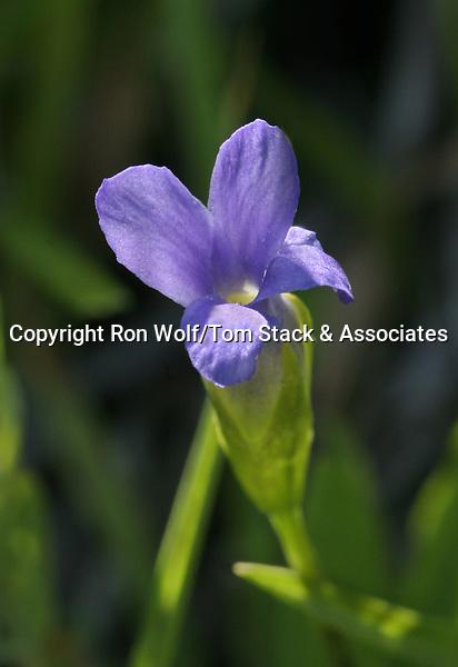 Hikers Gentian (Gentianopsis simplex). Lassen Volcanic National Park. Shasta Co., Calif.