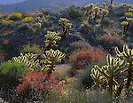Anza-Borrego Desert State ParK, CA<br /> Bigelow cholla cactus, chuparosa, brittlebush backlit in Plum Canyon