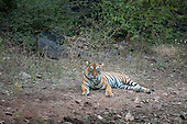 Rajasthan, India. Ranthambore National Park.