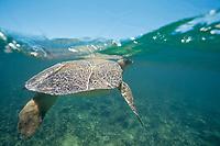 Australian flatback sea turtle, Natator depressus, endemic to Australia and southern New Guinea, raises head to breathe, Australia