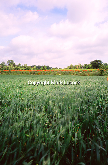 Crop field with line of poppies, Suffolk