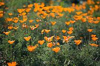Wild poppies in a field
