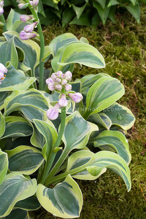 Hosta Frosted Mouse Ears in flower