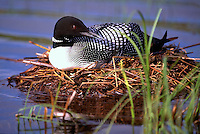Common Loon (Gavia immer) sitting on Nest on Lake, BC, British Columbia, Canada