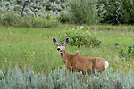 Mule deer in Yellowstone National Park