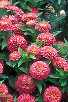 Zinnia Dreamland Pink, pink annual flowers