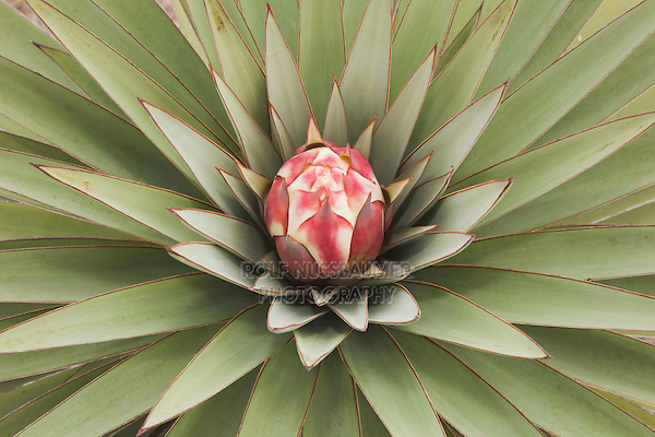 Trecul Yucca, Spanish Dagger (Yucca treculeana), blossom, Sinton, Corpus Christi, Coastal Bend, Texas, USA
