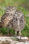 Burrowing Owl, Athene cunicularia, Broward County Park, Florida
