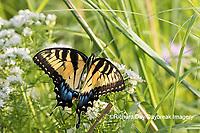 03023-03209 Eastern Tiger Swallowtail (Papilio glaucaus) on Slender Mountain Mint (Pycnanthemum tenuifolium) Marion Co. IL