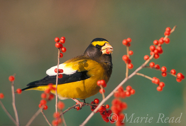 Evening Grosbeak (Coccothraustes vespertinus) male feeding on winterberry fruits in winter, New York, USA.  <br />