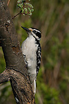 Hairy woodpecker - female