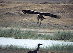 white-backed vulture landing