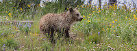 Grizzly bear cub in Yellowstone National Park