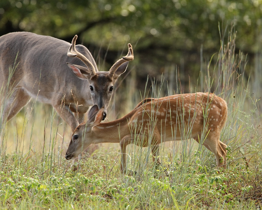 Whitetail Buck vs Fawn.