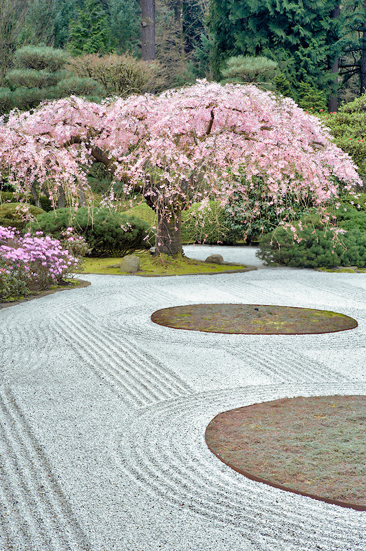Flowering cherry tree and purple azaleas. Japanese Gardens. Portland. Oregon