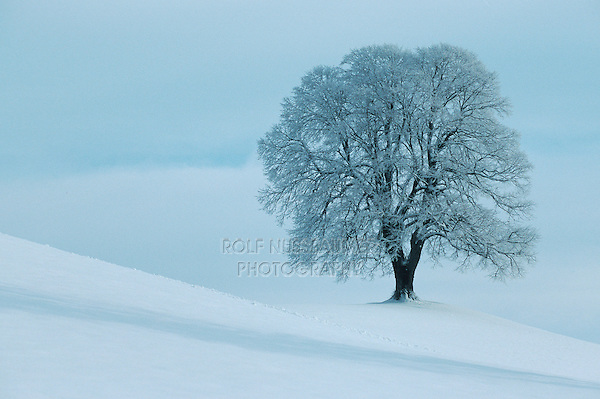 Linden tree (Tilia sp.),bare tree with frost in winter, Switzerland
