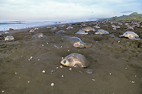 nesting female olive ridley sea turtles, Lepidochelys olivacea, crowd beach during arribada ( mass nesting ), digging up each others' eggs Playa Ostional, Costa Rica, Pacific Ocean