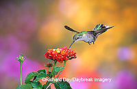 01162-079.07 Ruby-throated Hummingbird (Archilochus colubris) female at Dallas Red Lantana (Lantana camara) Shelby Co. IL