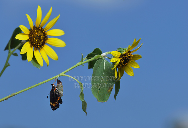 Bordered Patch (Chlosyne lacinia), butterfly expanding wings after emerging from chrysalis on Common Sunflower (Helianthus annuus), series, Hill Country, Central Texas, USA