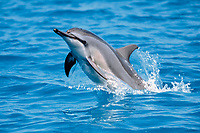 spinner dolphin, Stenella longirostris, jumping, Midway Atoll, Papahanaumokuakea Marine National Monumen, Northwestern Hawaiian Islands, Hawaii, USA, Pacific Ocean