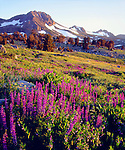 USA, California, Sierra Nevada Mountains.   Lupine Wildflowers at Carson Pass.
