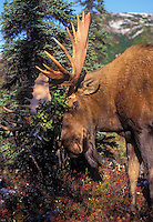 BULL MOOSE thrashes bushes as displacement activity for aggression during the Rut. Autumn. Denali National Park, Alaska..(Alces alces).