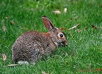 0208-08xx  Eastern Cottontail Rabbit Feeding of Grass, Sylvilagus floridanus/Dwight Kuhn Photography