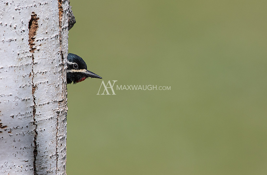 A male Williamson's sapsucker peeks out of its nest hole.