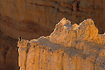 Peregrine Falcon on Hoodoo in Bryce Canyon from Inspiration Point Bryce Canyon National Park, UTAH
