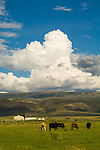 Grazing cattle in summer pasture, clouds from summer storm, Otter Creek, Utah