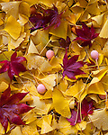 Jackson County, OR: Yellow ginko leaves and fruit (Ginko biloba) with red Japanese maple leaves in the Japanese Garden of Lithia park in Ashland