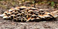 Nematoloma Capnoides cluster. Fall 2010. Herperduin, Herpen, The Netherlands.